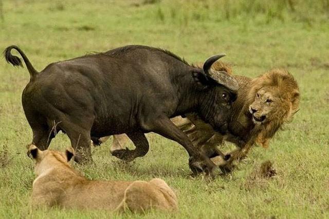 Trâu rừng phát điên, húc sư tử bay lên trời