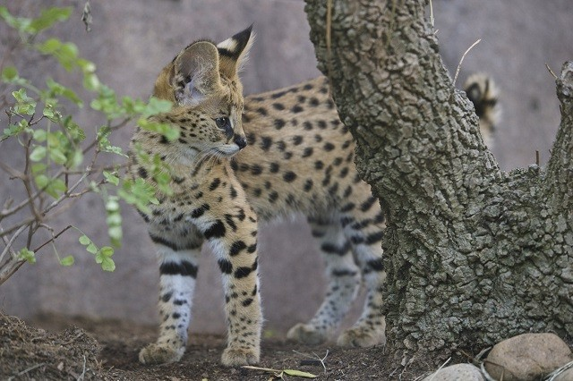 Linh miêu một mình đối đầu với bốn con báo cheetah