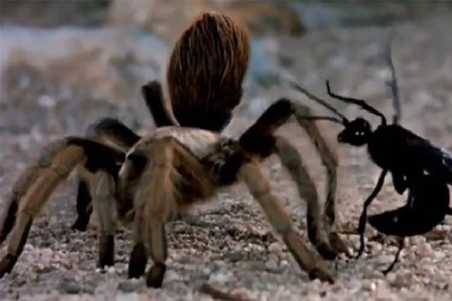 Cận cảnh trận chiến khốc liệt giữa nhện và ong bắp cày