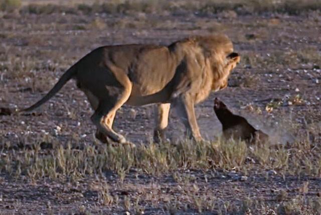 Sư tử tấn công lửng mật.