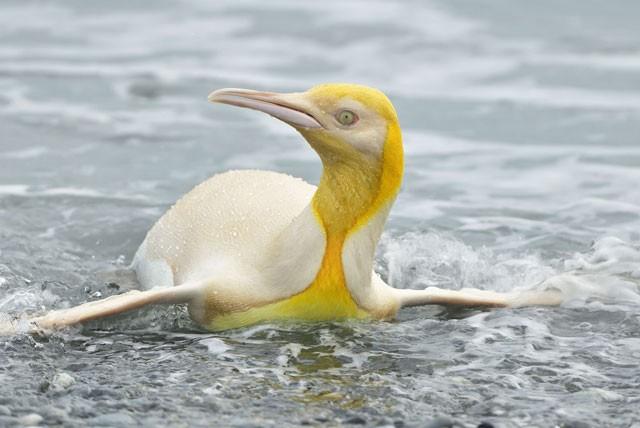 Chú chim cánh cụt có màu vàng.