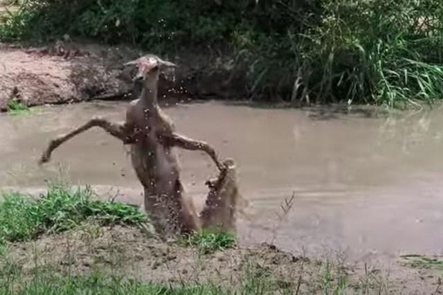 Linh dương ác chiến giành sự sống với cá sấu.