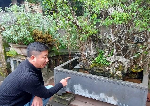 Cây sanh của nhà ông Nguyễn Khắc T. có thời điểm được trả 250 cây vàng. Ảnh: MĐ