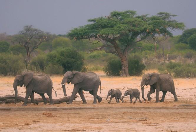 Loài voi ở Zimbabwe đang có nguy cơ tuyệt chủng vì hạn hán.