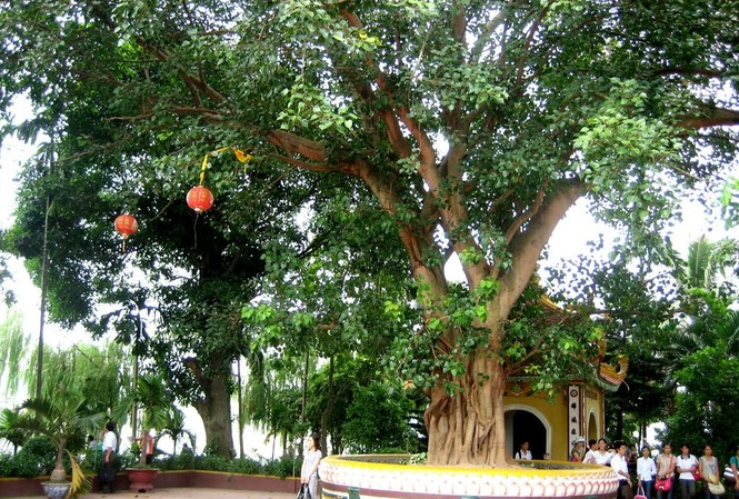 Cây bồ đề có gốc tích Ấn Độ tại chùa Trấn Quốc, Hà Nội.