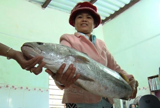 Cá lạ mắc lưới ngư dân Quảng Nam, nghi cá sủ vàng