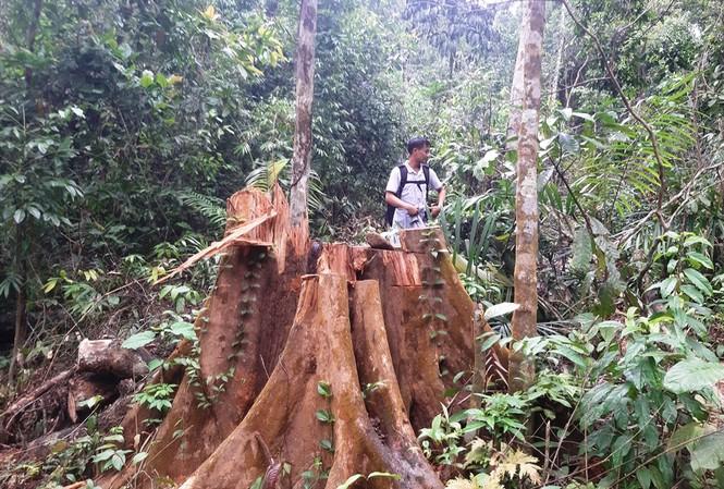 Những gốc cây lớn tại rừng phòng hộ Sông Tranh bị xẻ thịt