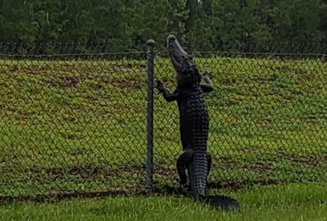 Cá sấu trèo rào 'đột nhập' căn cứ quân sự Mỹ