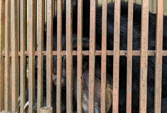 Gấu ngựa Valerie tại chuồng nuôi nhốt trong trường Xiếc Hà Nội.