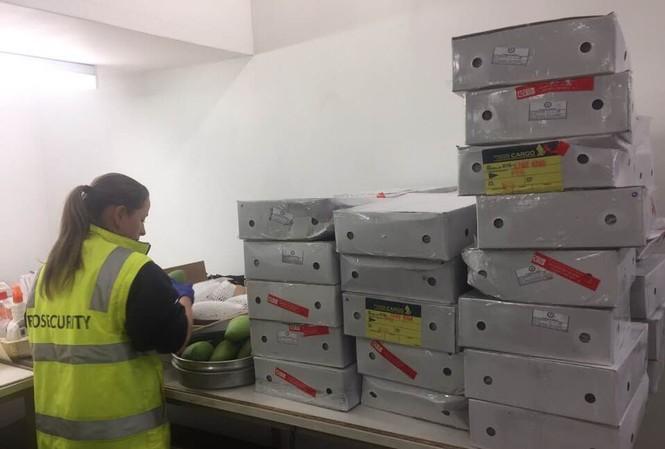 Cán bộ kiểm dịch thực vật Úc kiểm tra xoài Việt Nam nhập khẩu