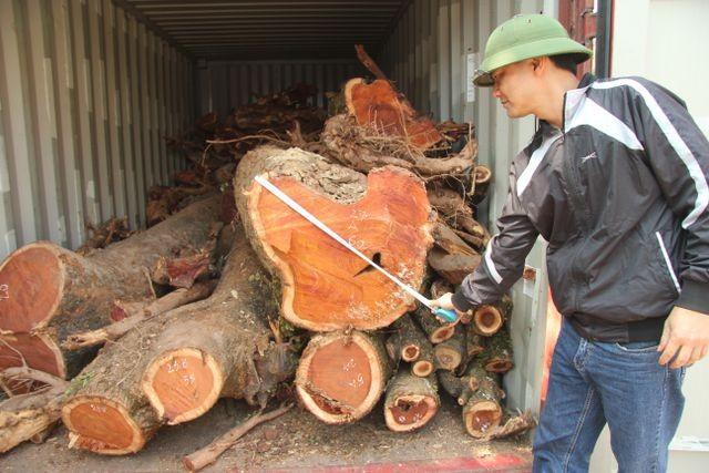 Người dân tiến hành đo đạc, kiểm tra lại số gỗ sưa đỏ tại nhà văn hóa thôn Phụ Chính (Ảnh: Nguyễn Trường).
