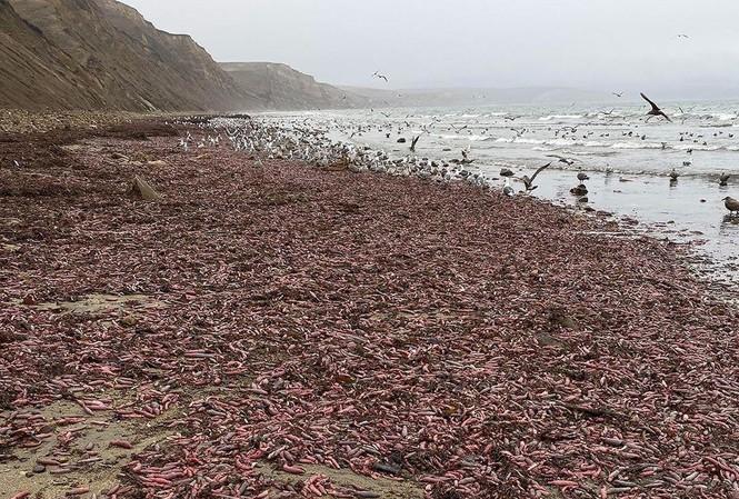 """Hàng trăm ngàn con """"cá dương vật"""" nằm phơi mình trên bãi biển San Francisco. Ảnh: Instagram"""