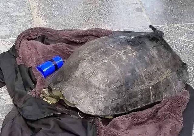 Cá thể rùa Hồ Gươm bị người đàn ông câu trộm.
