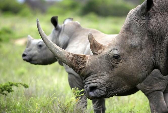 Thế giới hiện chỉ còn 20.000 con tê giác trắng, 5.000 con tê giác đen và 3.500 con tê giác một sừng. Ảnh: Livescience.
