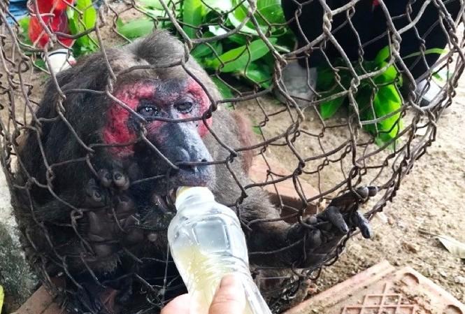 Khỉ mặt đỏ bị thương đi lạc vào vườn tìm thức ăn được người dân bắt được. Ảnh: X.T