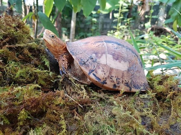 Rùa hộp bua-rê (tên khoa học là Coura bourreti) có nguy cơ tuyệt diệt