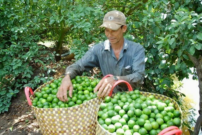 Năm 2018, do giá chanh xuống thấp, nhiều hộ dân đã chặt cây chanh làm củi