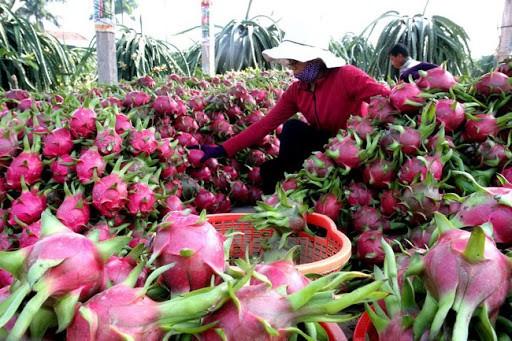 Thanh long là mặt hàng chịu tác động lớn nhất tại thị trường Trung Quốc do dịch virus corona.