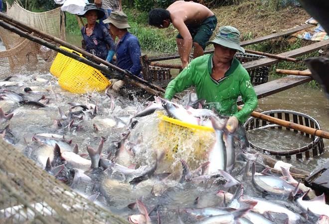 Do xuất khẩu ảm đạm, giá cá tra nguyên liệu tại các tỉnh Đồng bằng sông Cửu Long trong tháng qua chững ở mức thấp, quanh mức 18.000-18.200 đồng/kg