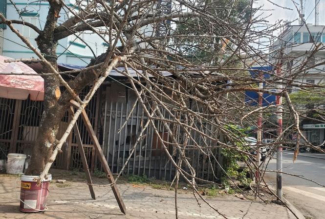 GS TS Trần Văn Chứ, Hiệu trưởng Trường Đại học Lâm nghiệp cho biết, về chủ trương cấp chặt đào rừng và các cây rừng dịp Tết của Thủ tướng được giới khoa học rất ủng hộ.