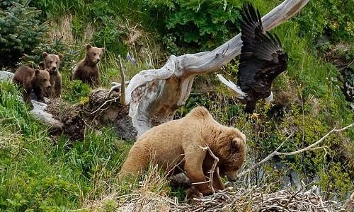 Gấu nâu chật vật trốn đòn tấn công của đại bàng mẹ. Ảnh: Jeff Schultz.