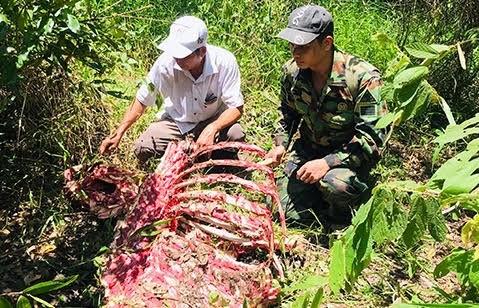Một cá thể nghi bò tót bị săn trộm ở Vườn Quốc gia Cát Tiên