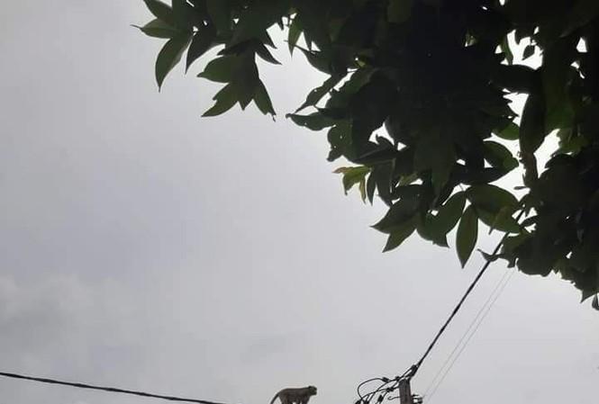 Một con khỉ đu dây điện ở phường Thạnh Xuân, quận q12, TPHCM