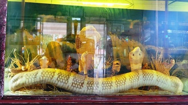 Tiêu bản rắn hổ mang chúa 18 tuổi được trưng bày trong bảo tàng rắn trại Đồng Tâm.