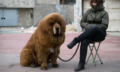 """Giống chó ngao Tây Tạng một thời là biểu tượng của sự giàu sang, là """"món đồ trang sức"""" không thể thiếu của các đại gia ở Trung Quốc. Ảnh minh họa: AFP."""