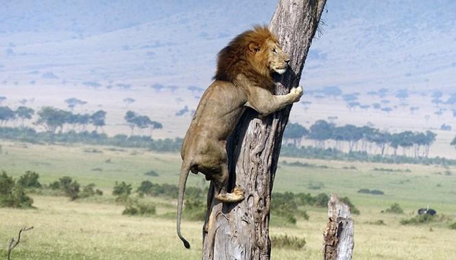 Cảnh tượng sư tử leo cây để chạy trốn đàn trâu, khiến nhiều người không khỏi sưng sốt.