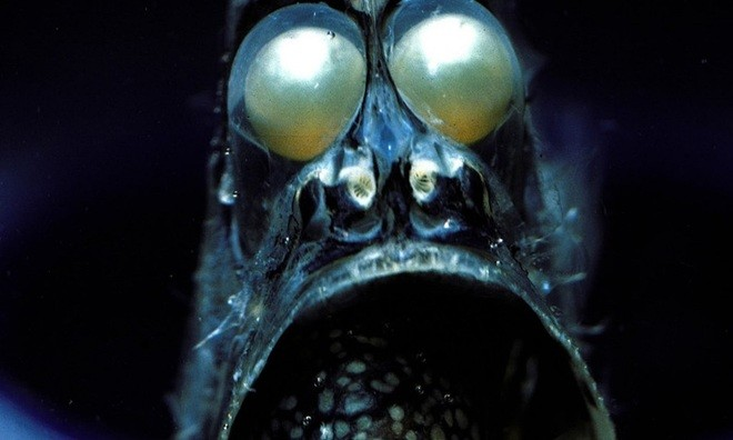 Cá rìu là loài cá mỏng như dao cạo, sống ở độ sâu 45 mét dưới Thái Bình Dương, Đại Tây Dương và Ấn Độ Dương. Dù có ngoại hình đáng sợ với đôi mắt lồi to, chúng hoàn toàn không nguy hiểm.