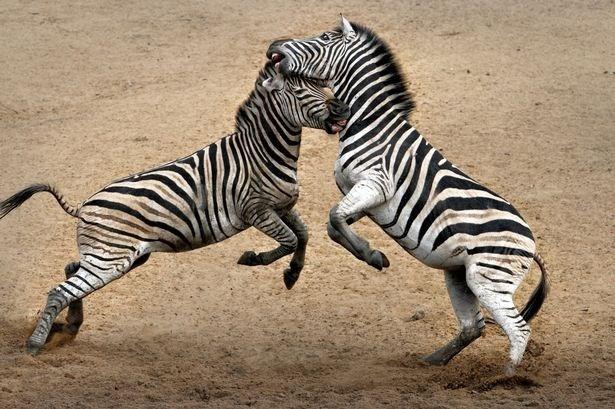 Một con ngựa già đầy kinh nghiệm ẩu đả dữ dội với một con ngựa vằn trẻ con hiếu chiến. Hai con ngựa vằn đánh nhau suốt bốn giờ.