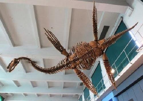 """Bản sao loài Plesiosau r có tên """"Tuarangisaurus Cabazai"""" làm từ bột nhựa tổng hợp polyurethane được ghi lại tại Bảo tàng Khoa học tự nhiên Argentina, tại thủ đô Buenos Aires vào ngày 1/7/2013. Ảnh: Reuters."""