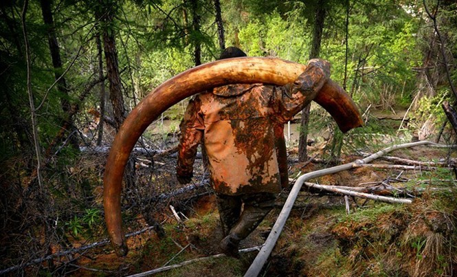 """Nhiếp ảnh gia Amos Chapple đã dành ba tuần sống cùng giới săn trộm mà ông mô tả là """"những kẻ ngâm mình trong rượu vodka"""" ở vùng Siberia, Nga. Chiếc ngà voi trong ảnh nặng 65 kg, được bán với giá 34.000 USD."""
