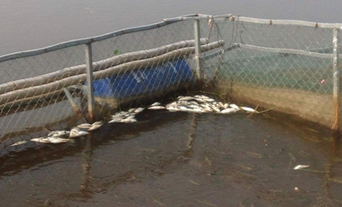 Người nuôi cá vô cùng lo lắng trước hiện tượng cá chết hàng loạt.