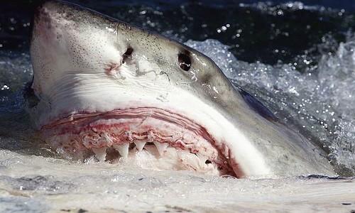 Sở hữu bộ hàm đỏ và những chiếc răng sắc nhọn, cá mập trắng khổng lồ được mệnh danh là sát thủ số một đại dương, theo Mother Nature Network. Ảnh: Wikimedia Commons.