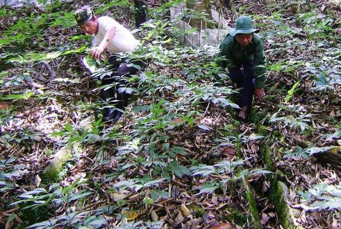 Nông dân trồng sâm Ngọc Linh có người trở thành đại gia với khối tài sản lên tới 500 tỷ đồng.