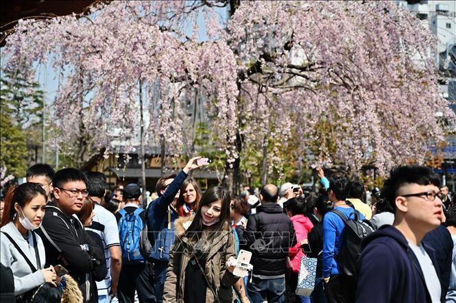 Du khách ngắm hoa anh đào nở rộ tại Tokyo, Nhật Bản. Ảnh: AFP/TTXVN.