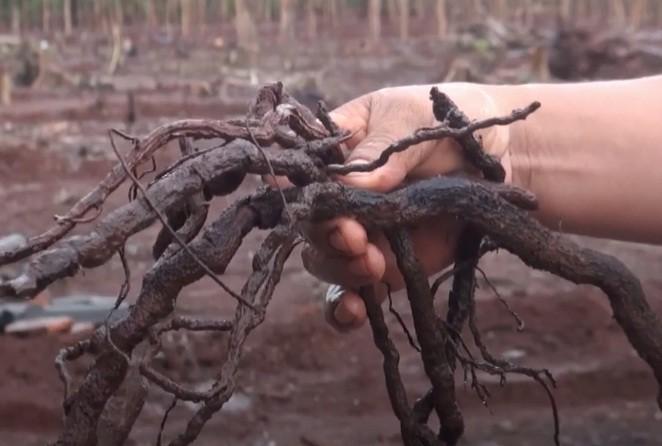 Thương lái thu mua rễ cây hồ tiêu để bán sang Trung Quốc làm thuốc.