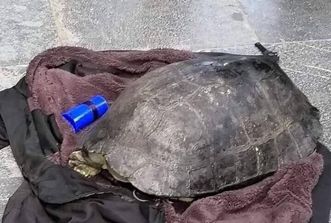 Con rùa bị Hanh câu trộm ở hồ Hoàn Kiếm. Ảnh: VTC
