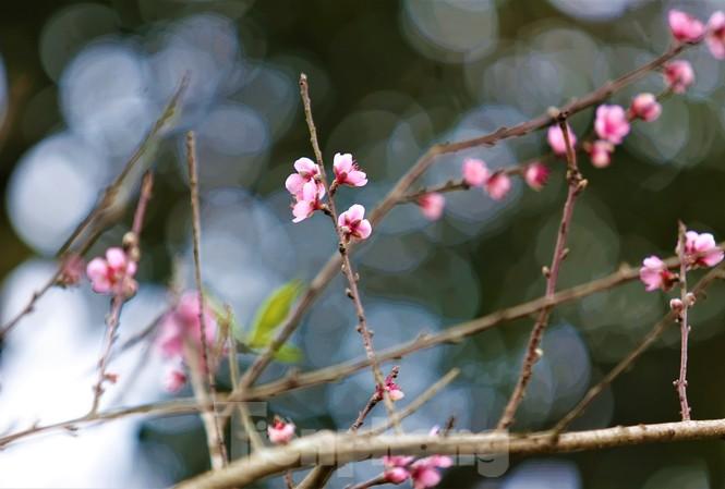 Ngắm hoa đào khoe sắc trên 'cổng trời' mù sương