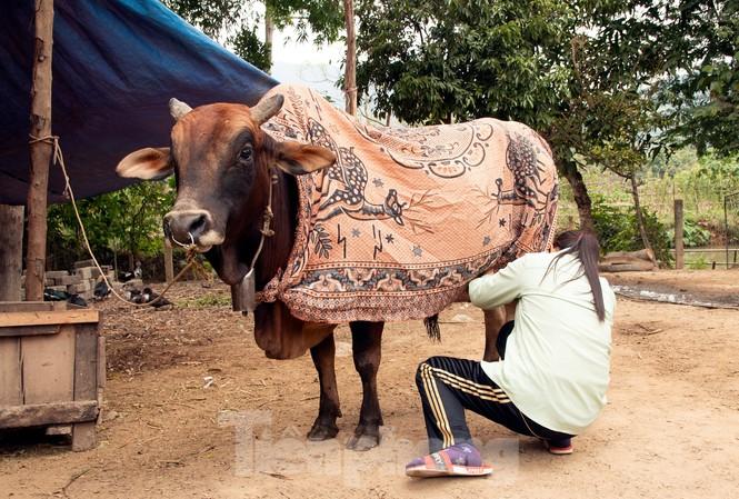 Hàng trăm gia súc ở miền núi Nghệ An bị chết rét