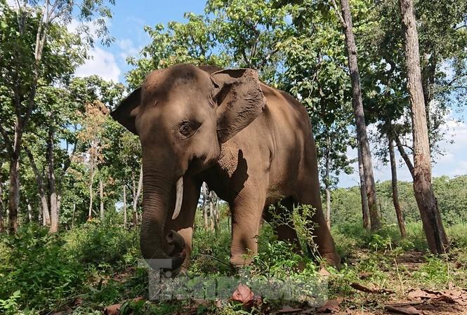 Một con voi rừng được chăm sóc ở Trung tâm bảo tồn voi Đắk Lắk
