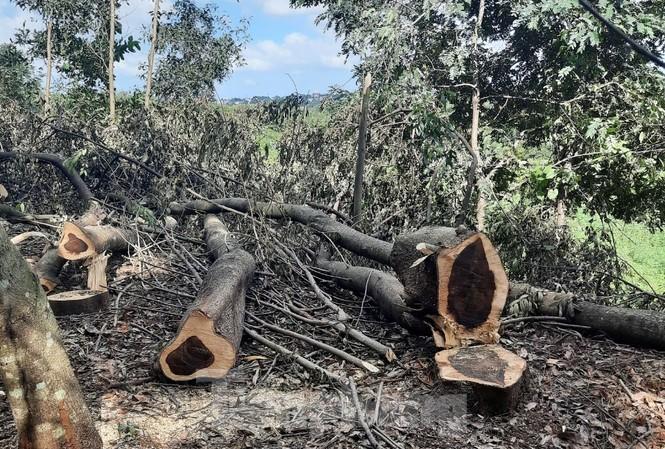 Nhiều cây gỗ muồng có đường kính từ 20 đến 40cm bị đốn hạ