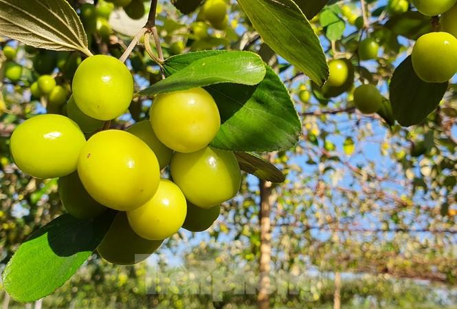 Kỳ lạ: Loại táo giống nho như đúc ở Hải Phòng