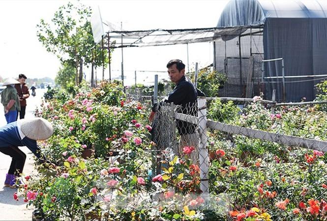 Hoa hồng cành, hồng thế nở rộ khoe sắc đón Tết, thế nhưng người nông dân Mê Linh lại đang lo về một mùa kinh doanh không thuận lợi