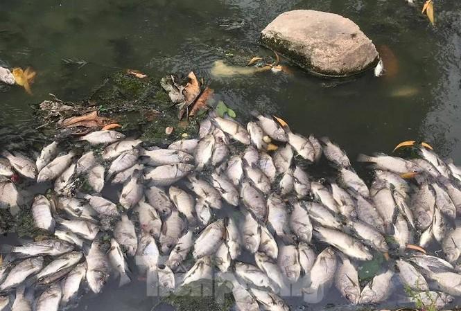 Cá chết trắng kênh gần khu bảo tàng ở Bình Dương