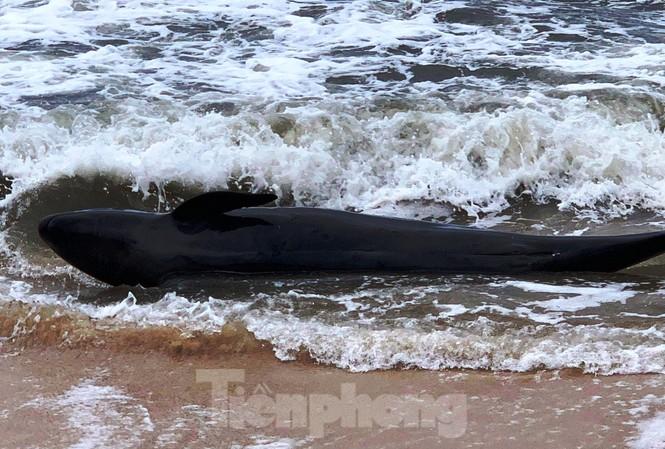 Cá heo dạt bờ tại TT-Huế vào thời điểm sóng to gió lớn do ảnh hưởng gió mùa đông bắc.