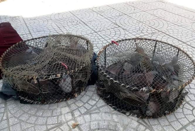 Hàng chục con chim Gầm Ghì bị săn bẫy trái phép tại khu vực rừng phòng hộ Bắc Hải Vân, TT-Huế.