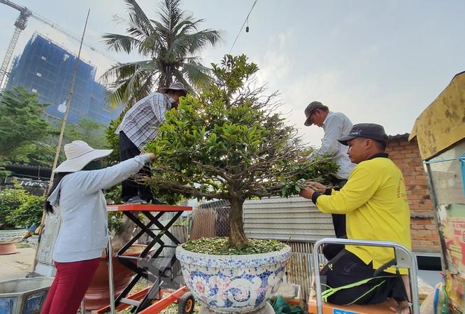 Người trồng mai đang trẩy lá để phục vụ dân chơi dịp Tết